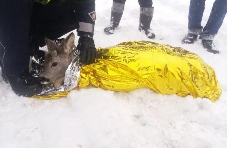 Kamienna Góra: Policjanci pomogli rannej sarnie