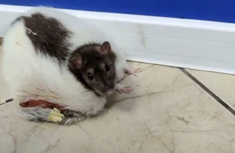 Właścicielka zgotowała piekło swojemu szczurkowi. Skrajnie zaniedbane zwierzątko porzuciła