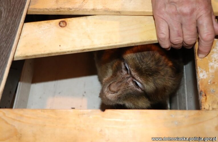 Skradziona małpka wróciła do właścicielki